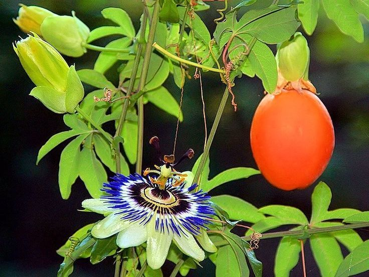 Image Result For Fruit Flower Bud Vine Passiflora Passiflora Caerulea Passion Flower
