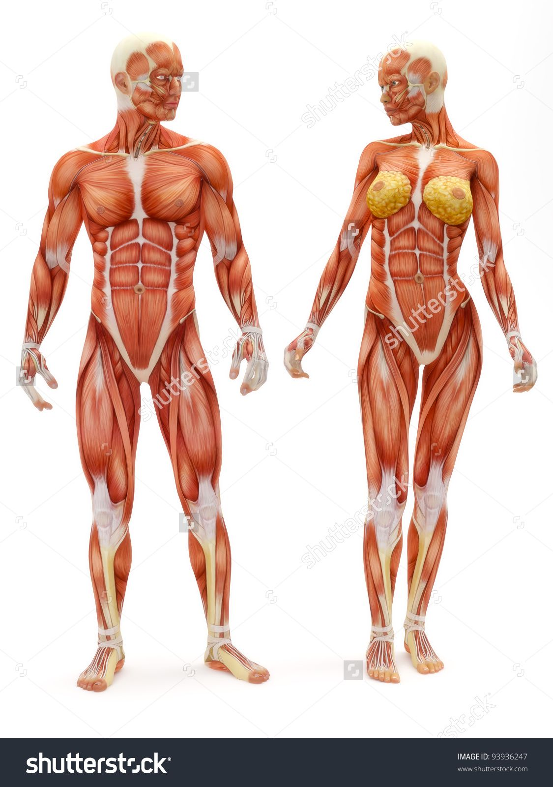 Stock Photo Male And Female Muscular Skeletal System Isolated On A