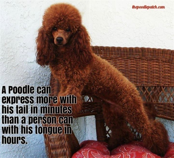 A poodle can express more with his tail in minutes than a