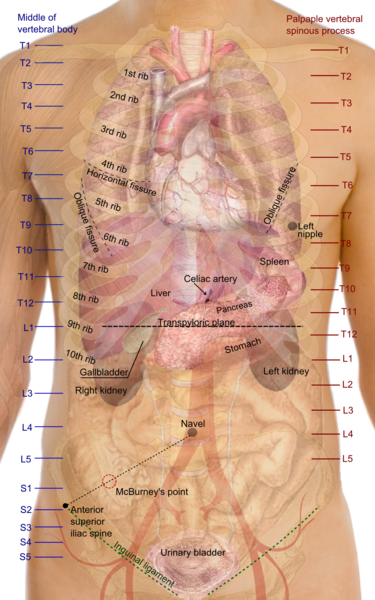 Diaphragm (Human Thorax) Location, Anatomy, Function and Position ...