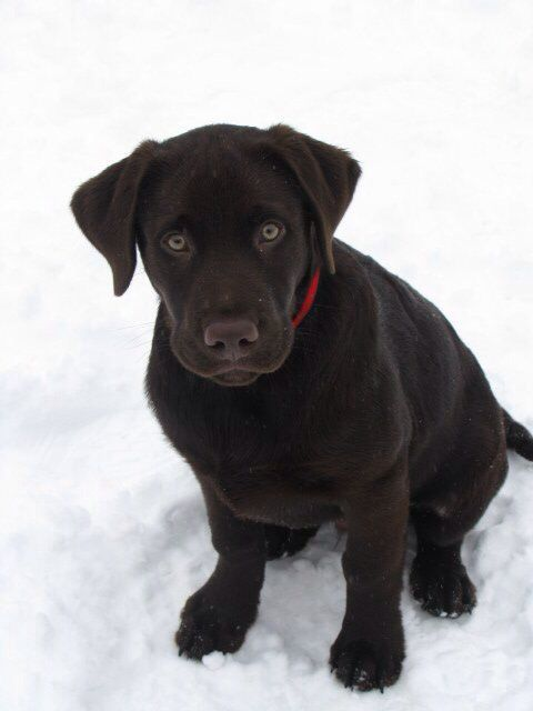 Chocolate Labrador My Puppy Moose Lab Puppies Beautiful Dogs Puppies