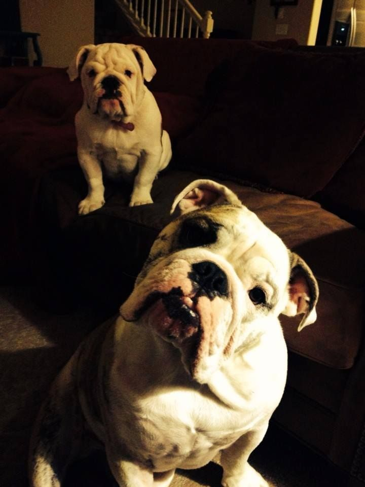 Practicing His Tough Guy Stance With Images English Bulldog