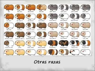 Cobaya raza otras mascotas pinterest cobayas razas - Informacion de cobayas ...