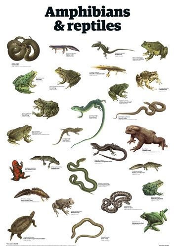 Amphibians & reptiles by Guardian Wallchart | afiches ...
