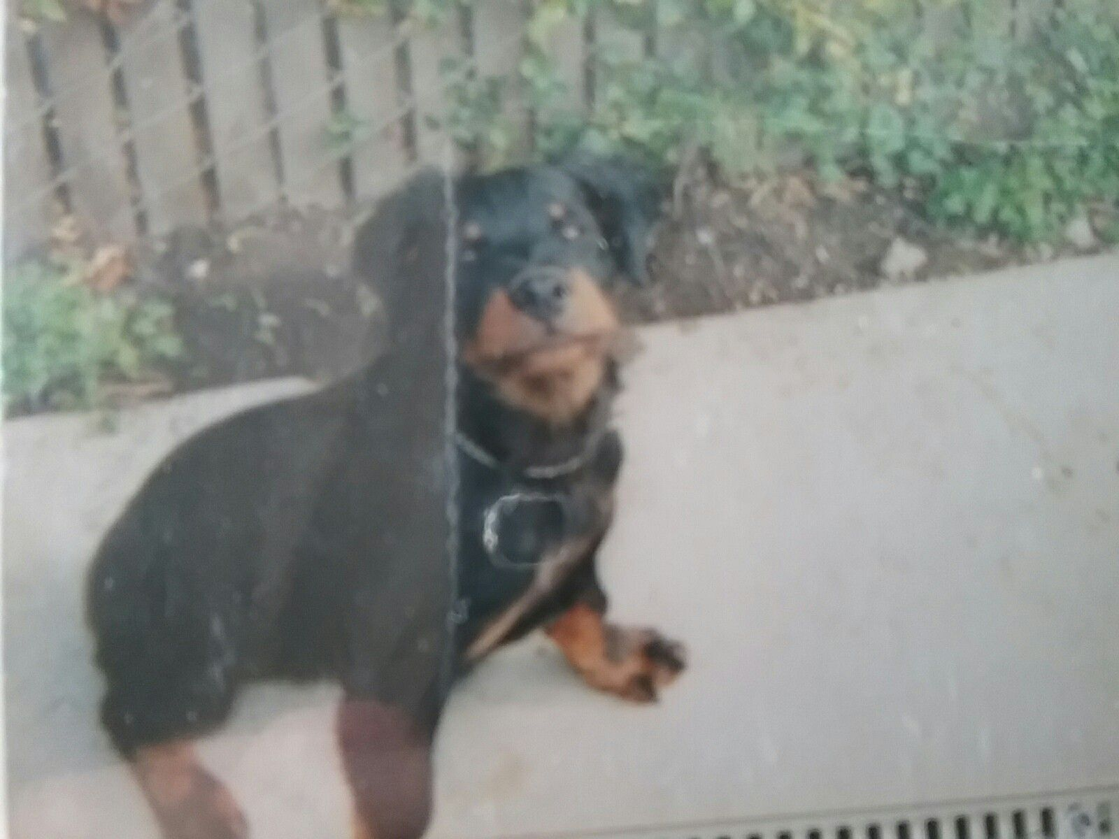 Bo My 1st Rottie Belgium Long Hair Was His Breed Great Friend Died