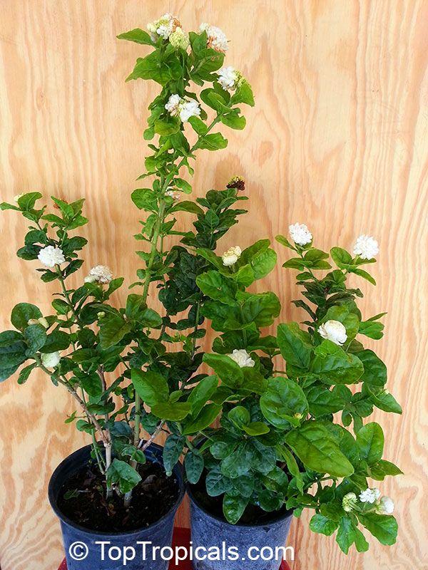 fragrant jasmine sambac grand duke growing perfumed. Black Bedroom Furniture Sets. Home Design Ideas