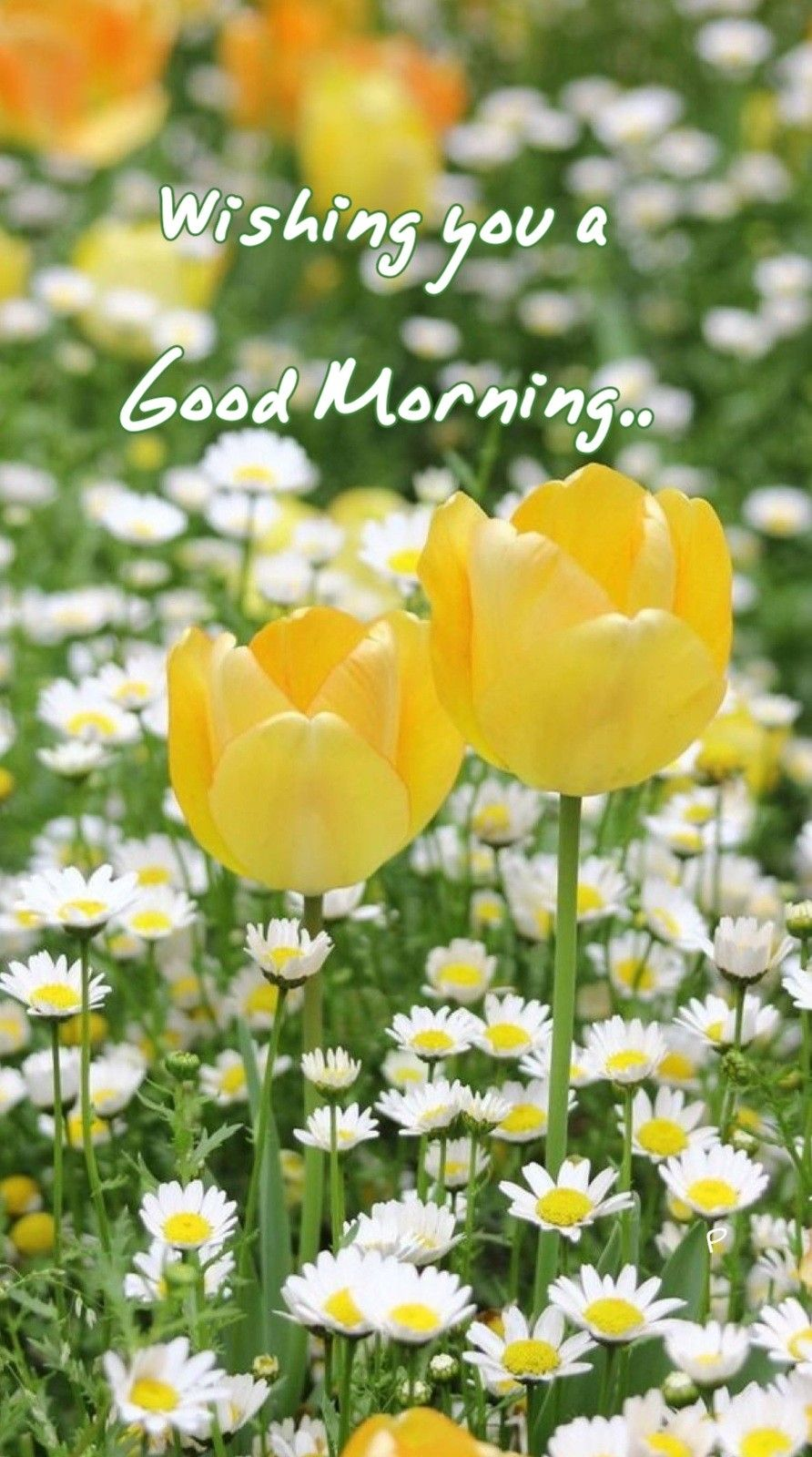 Good Morning Greetings Good Morning Pinterest Tulipanes