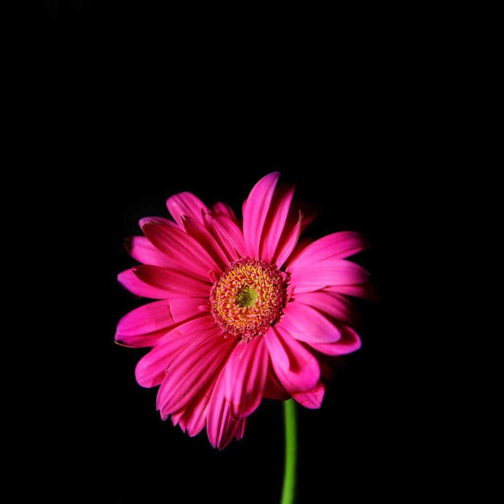 Flower In The Dark Macro iPad Air Wallpaper Hot pink