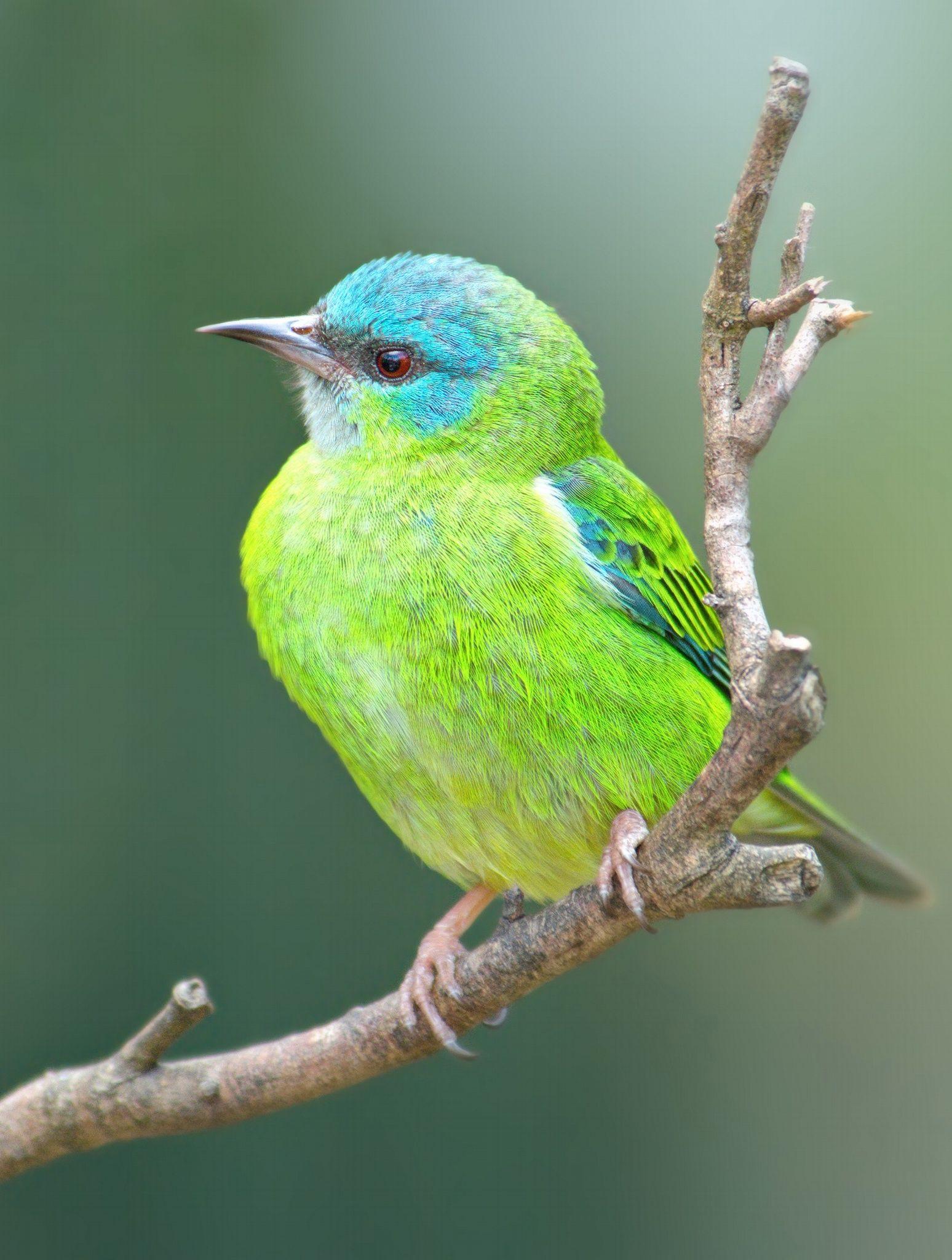 Dacnis cayana (Saí-Azul) | Pájaros | Pinterest | Azul, Pájaro y Ave