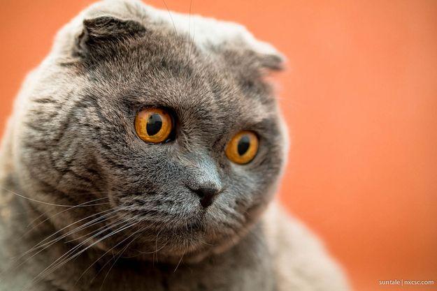 blue russian cat rescue