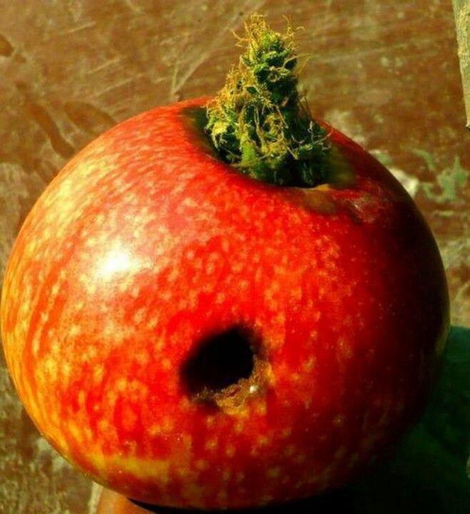 #apple #marijuanalove #marijuanaplant #marijuanaphotosubmission #marijuanaphotos #marijuana #ganja #ganjababes #ganjaconsumer #pot #bongs #blunts #weed #420 #raw #high #stonernation #stoner #dope #instaweed #hemp #joints #hash