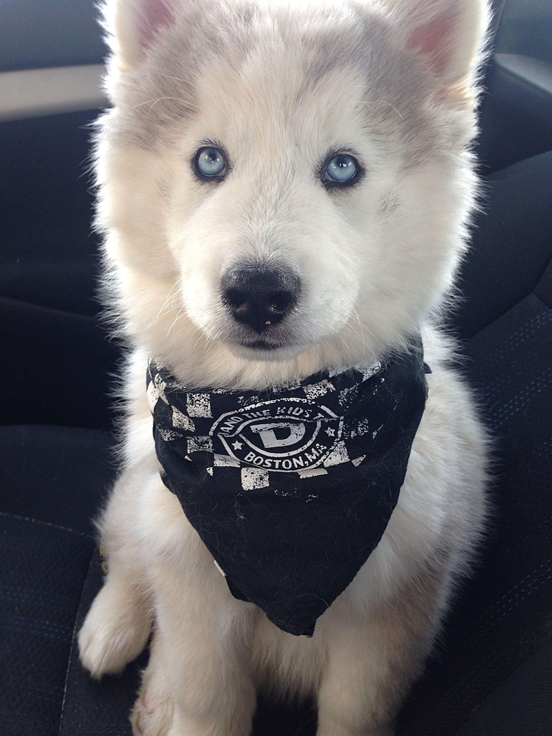 Wooly Husky Puppy Our Beautiful Wooly Husky Puppy Obi Wan Kenobi