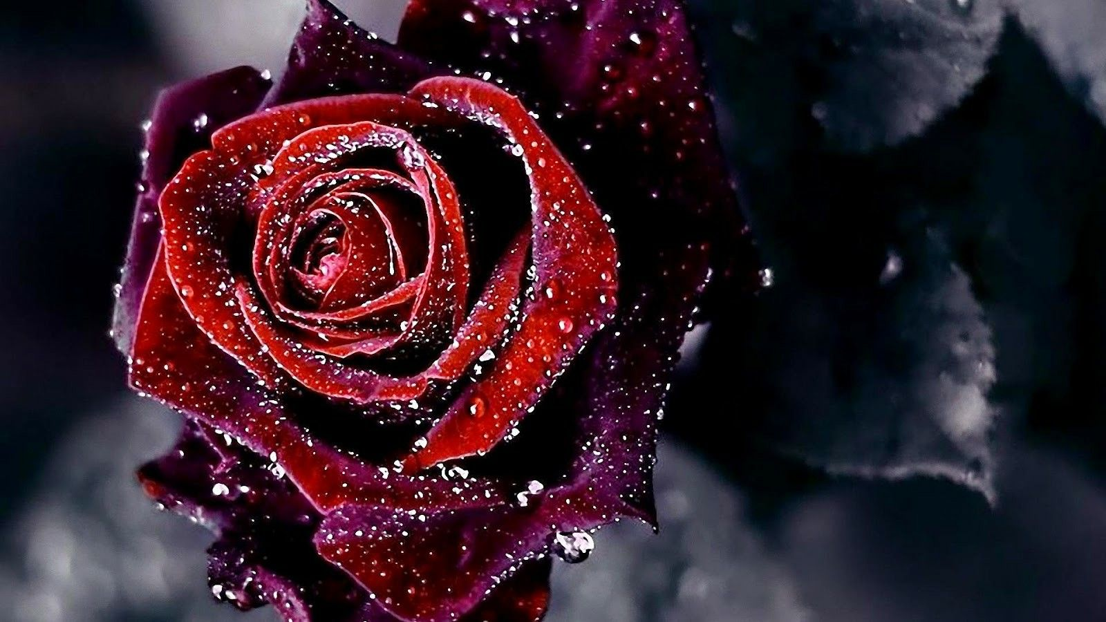 Image Result For Free Purple And Red Rose Background Rose Flower Wallpaper Red Flower Wallpaper Red Rose Flower