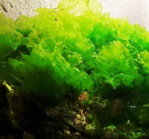 2 ulva sea lettuce refugium macro algae saltwater aquarium for Red algae in fish tank