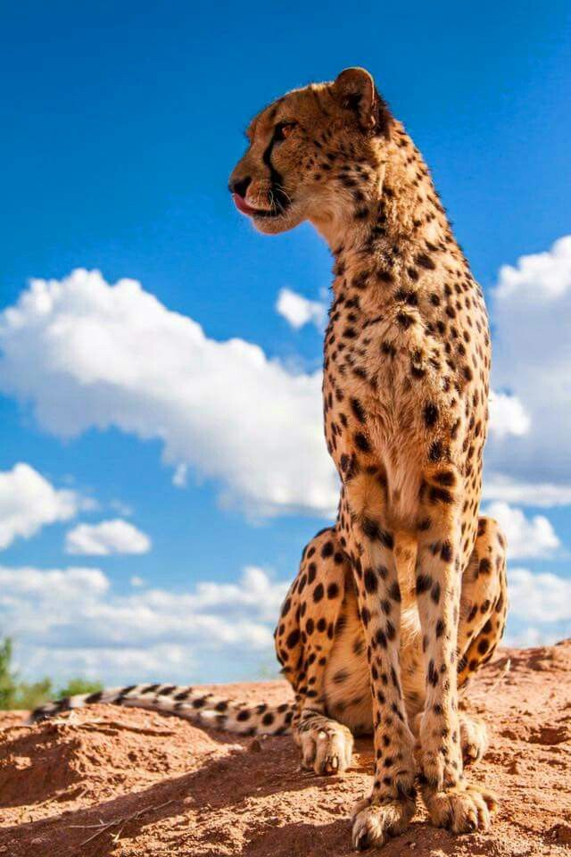 Pin By Sadama Barca10 On Wallpapers Cheetah Photos Animals Animals Wild