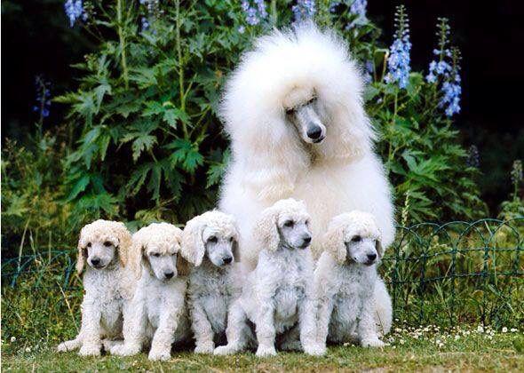 Poodles Smartest Dog Breeds Poodle Dog