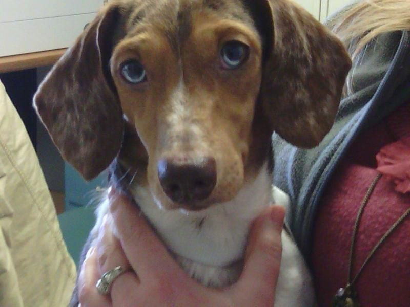 Adopted Holy Adorable Look At That Face Blue Dachshund Mix