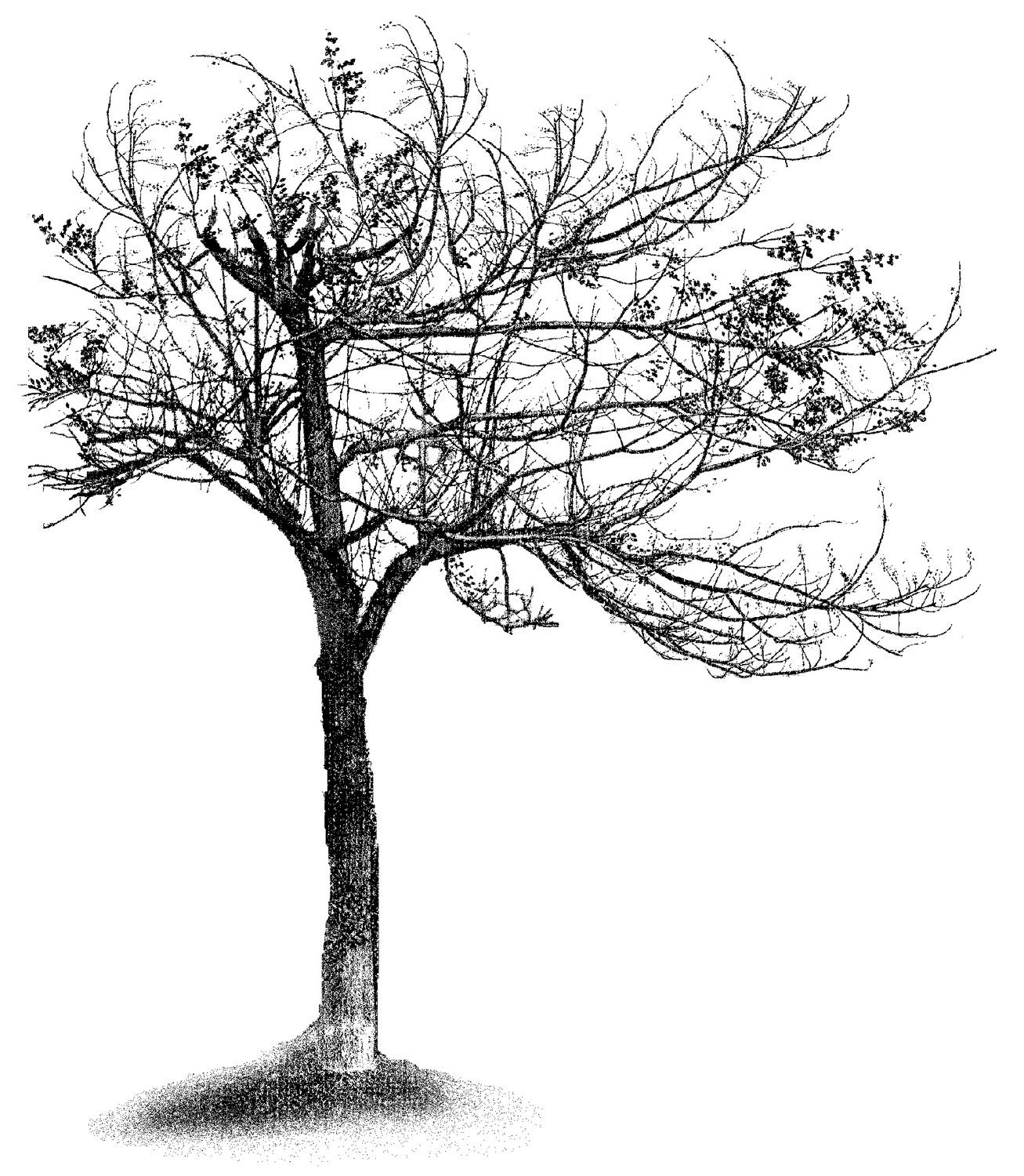 Beech Tree Branch Rubber Stamp Scenic Stamp