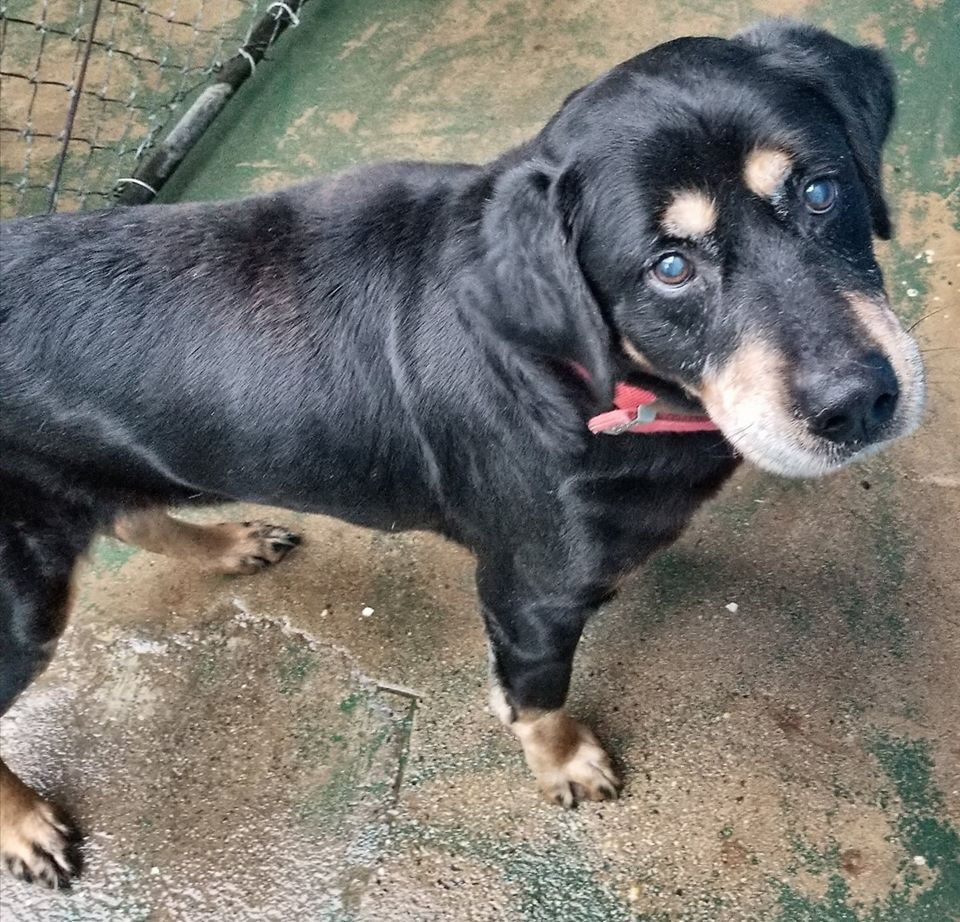 Rottweiler dog for Adoption in Staley, NC. ADN802752 on