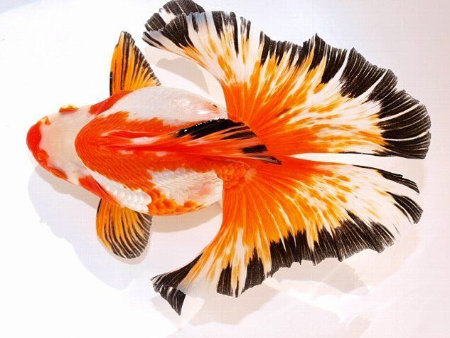 Ryukins with butterfly tosakin tail site for goldfish for Pesce rosso butterfly