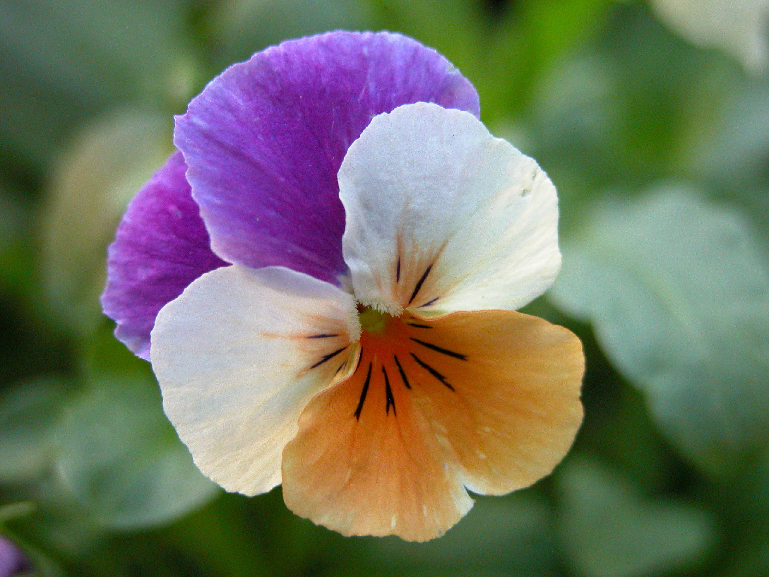 Pansy Faces Flowers Pansies Flowers Garden