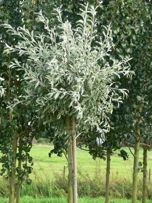pyrus salicifolia 39 pendula 39 tuin pinterest bomen struiken en tuin. Black Bedroom Furniture Sets. Home Design Ideas