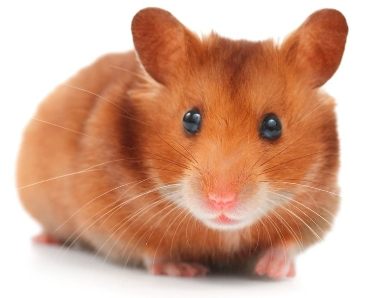 The Syrian Hamster Is Just One Of The Most Charming Small Pets That Numerous American Families Like These Hamsters Syrian Hamster Hamster Breeds Cute Hamsters