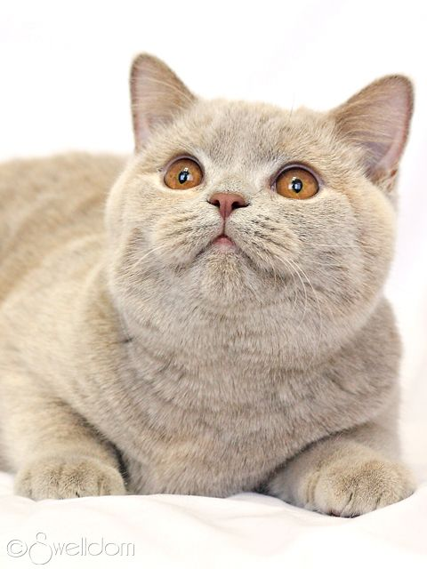 Fawn British Shorthair Cats And Kittens Cat Lovers Cat Breeds