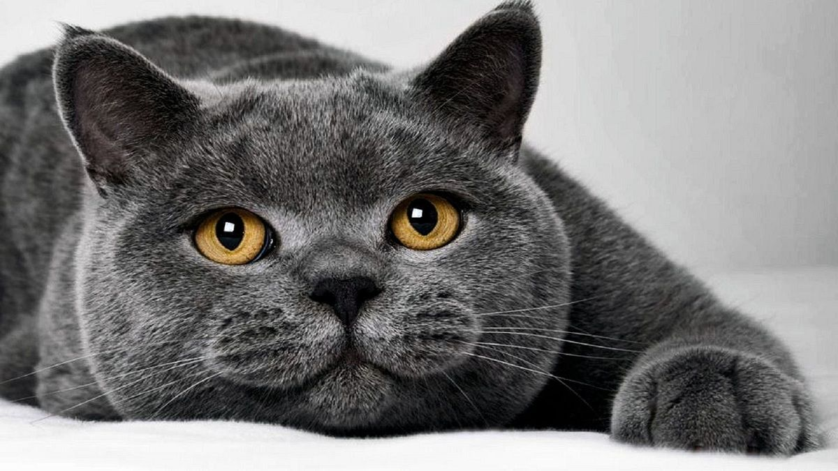 Why British Shorthair Cute Animals Cats Kittens Pretty Cats
