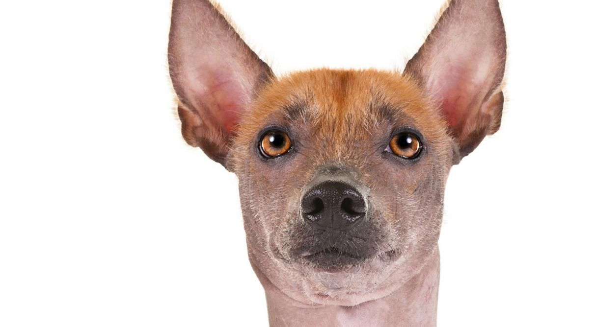 The XOLOITZCUINTLI Aka Mexican Hairless Or Tepezcuintli Is Viewed As A National Treasure In Mexico Known To Exist For Over Years