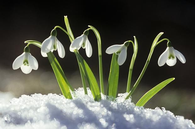 Outside How To Choose Snowdrops Snowdrop Plant Flowers Plants