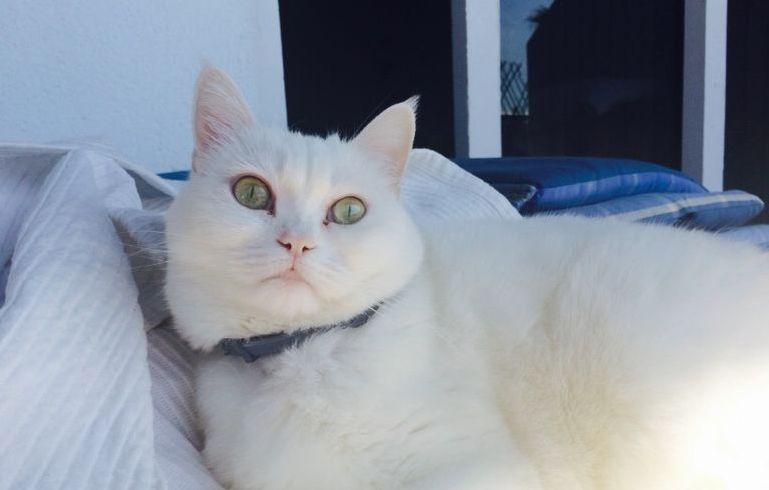 enfermedades transmitidas por garrapatas gatos