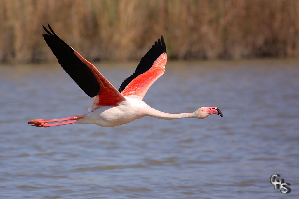 flying flamingoes ii by - photo #14