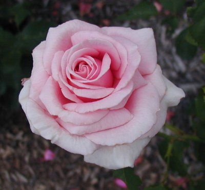 Frederick Mistral Hybrid Tea Rose Light pinks blooms of high-centered form, with a strong citrus fragrance.