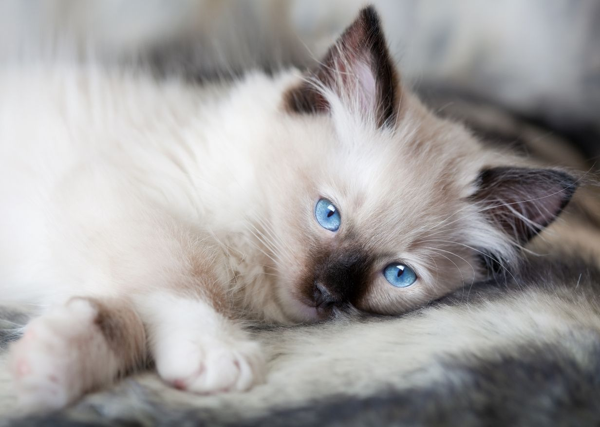 Ragdoll Cats And Kittens American Ragdoll Cat Funny Cat Wallpapers Pictures Images And Cats Ragdoll Cat Ragdoll Cat Breed
