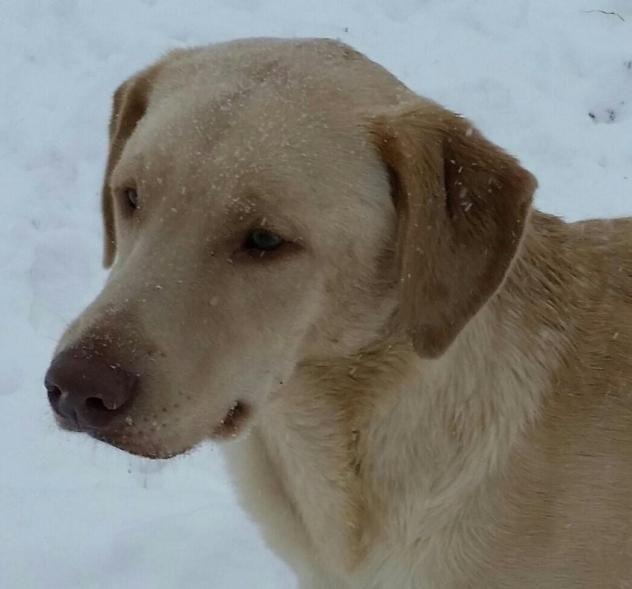 Adopt Blake On Yellow Labrador Retriever Labrador Retriever Rescue Labrador Retriever