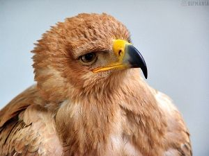 baby golden eagle free