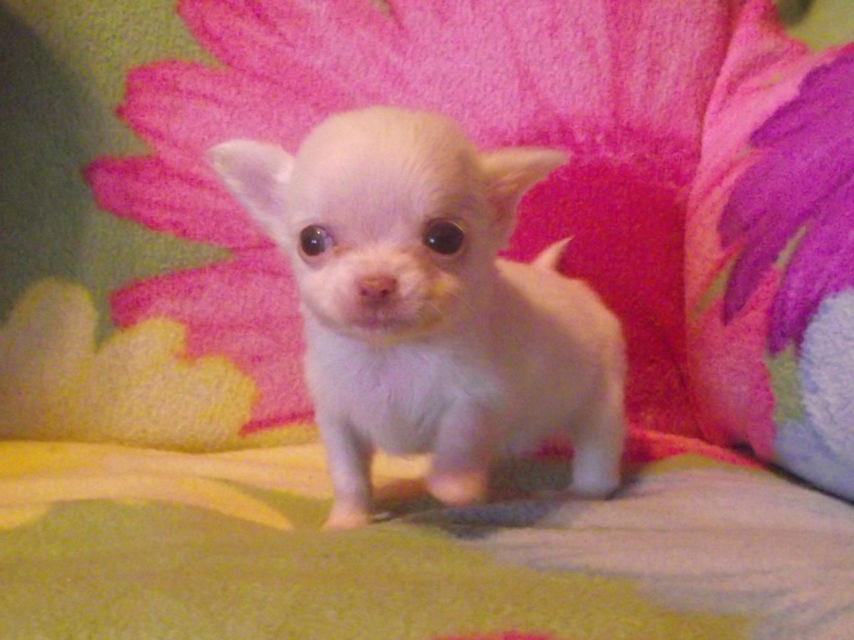 Micro Teacup Chihuahua Puppies Tiny Teacup Chihuahua Puppies