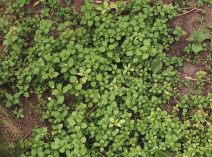 how to get rid of chickweed in garden