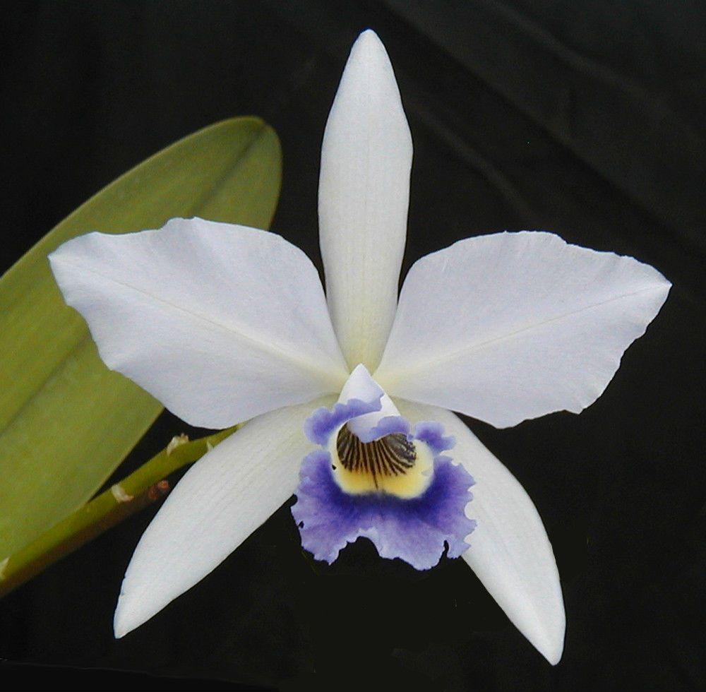 Blue cattleya laelia amoena orchid plant blue cattleya pinterest