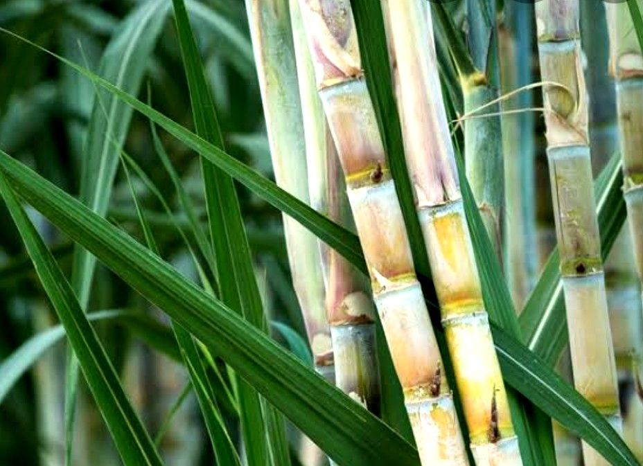 Pin By Jagruti Save On Hindi Marathhi Sugarcane Sugar Cane Plant Sugar Cane