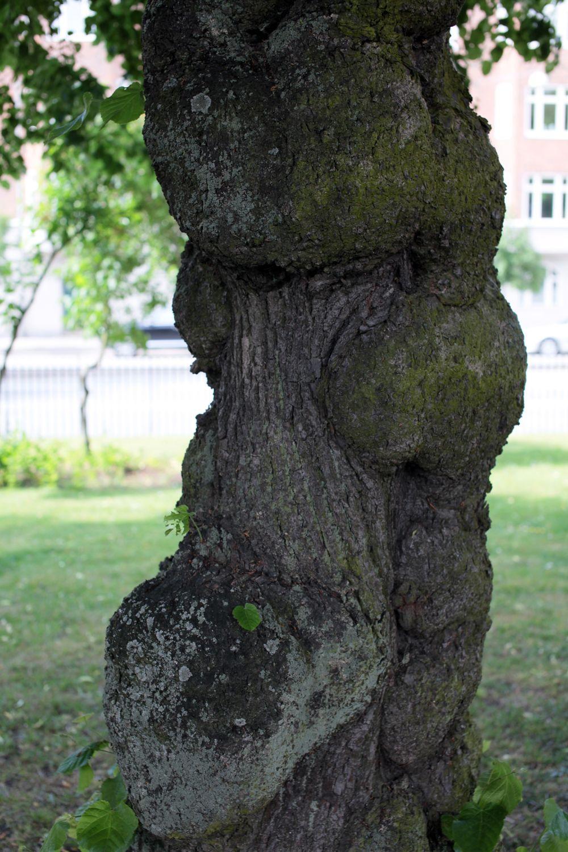 この木、石川五右衛門に似てると思わない?それか田舎のヤンキー(爆)。