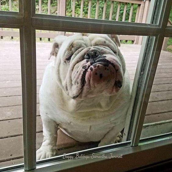 Anybody Home Bulldog Bulldog Puppies English Bulldog