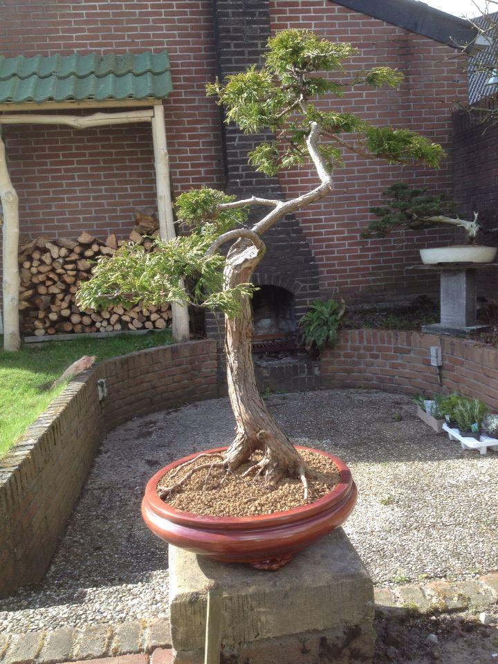 Garden juniper styled