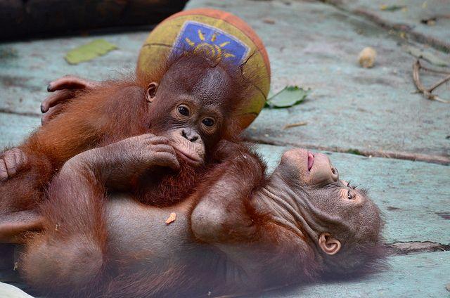 Having fun | Baby orangutan, Orangutan, Cute animals