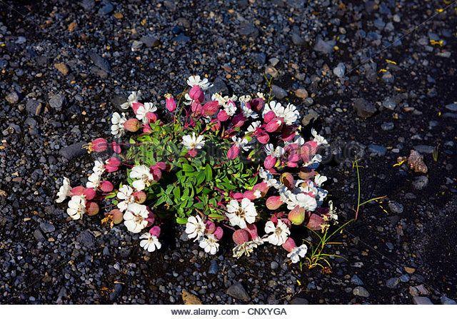 Sea campion (Silene uniflora), blooming, Iceland, Skeidar?rsandur - Stock Image
