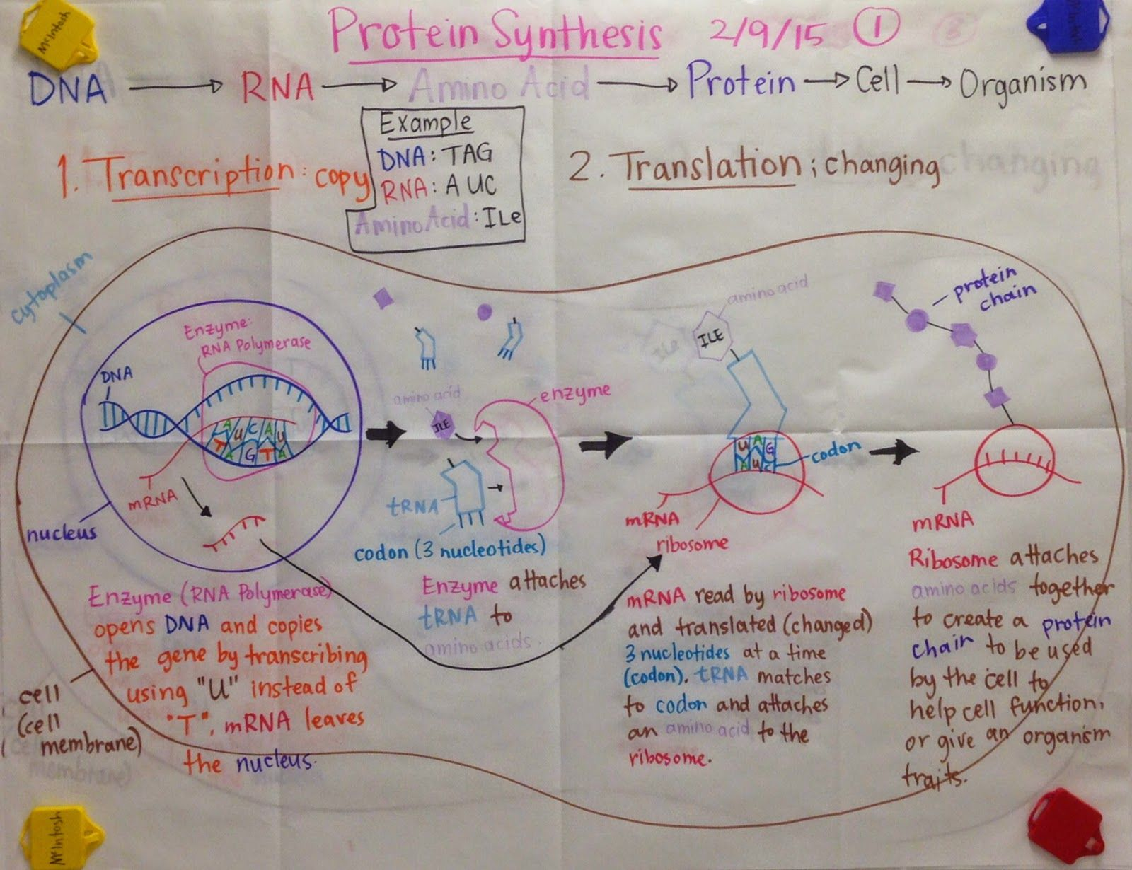 ap bio essay protein synthesis Now that we've described dna and rna, it's time to take a look at the process of protein synthesis the synthesis of proteins takes two steps: transcription and.
