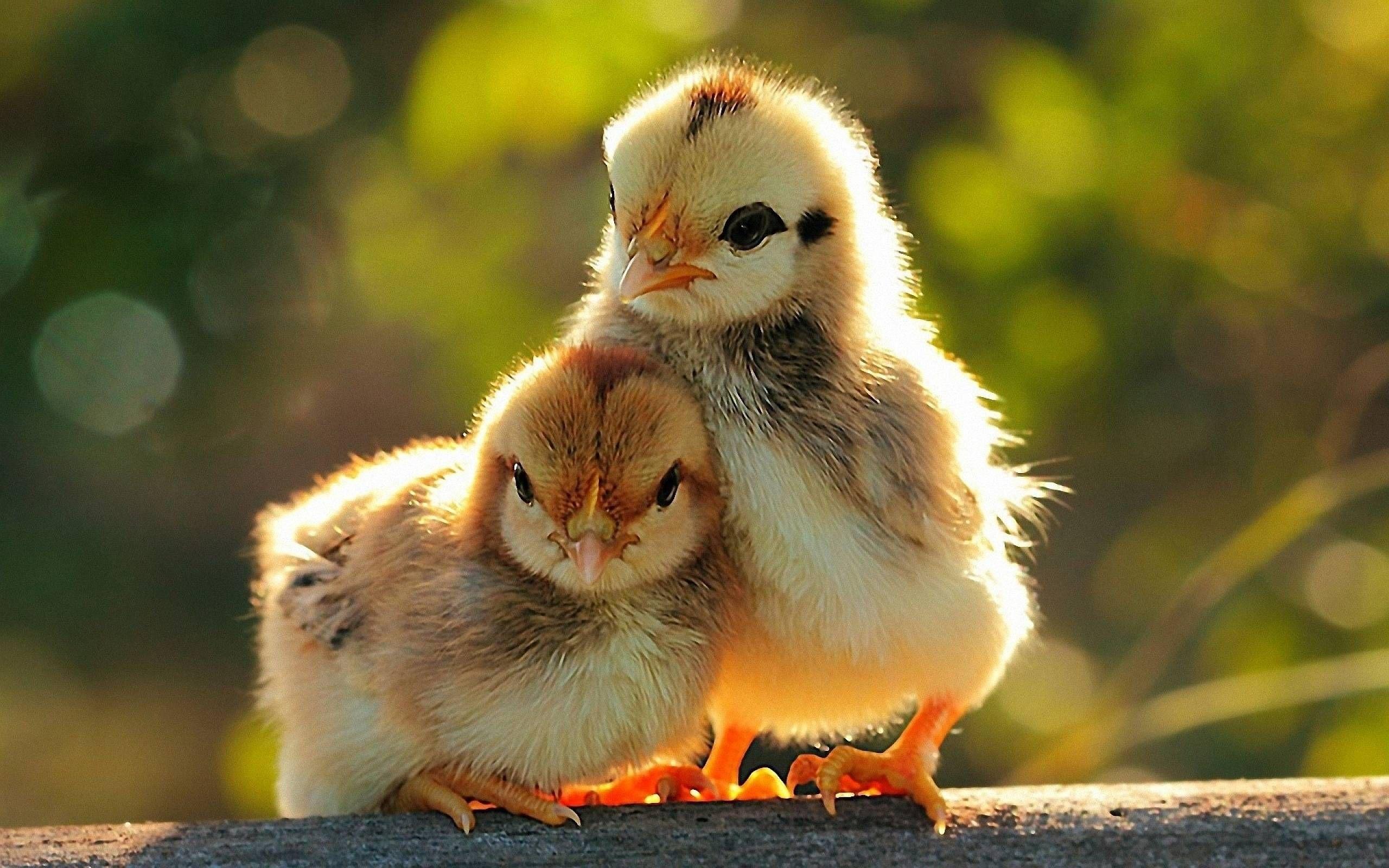Lovely Chiks [2560x1600]