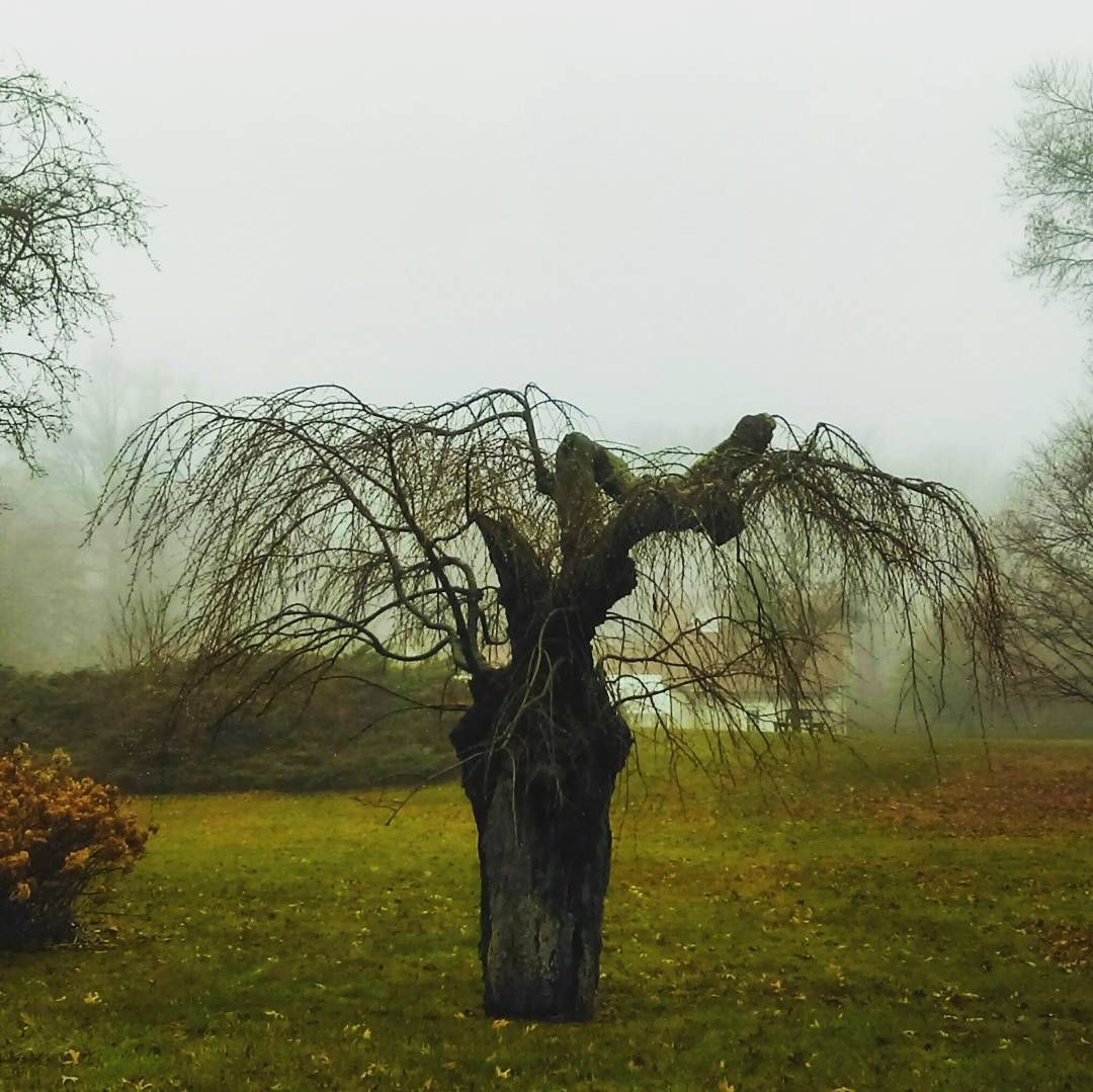 Foggy rain naked cherry blossom #tree #sad #happy #beauty #garden #fog #picoftheday #phototag_it #om #goddess