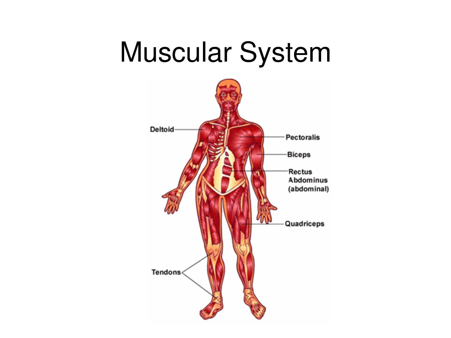Diagram Of The Muscular System